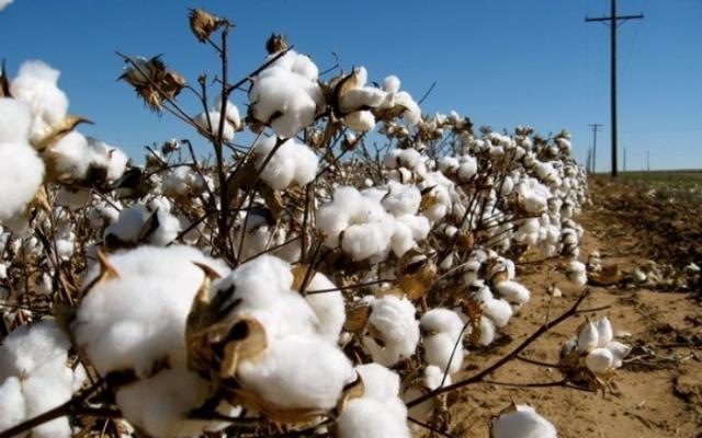 Cây bông vải chuyên dùng đê sản xuất sợi cotton
